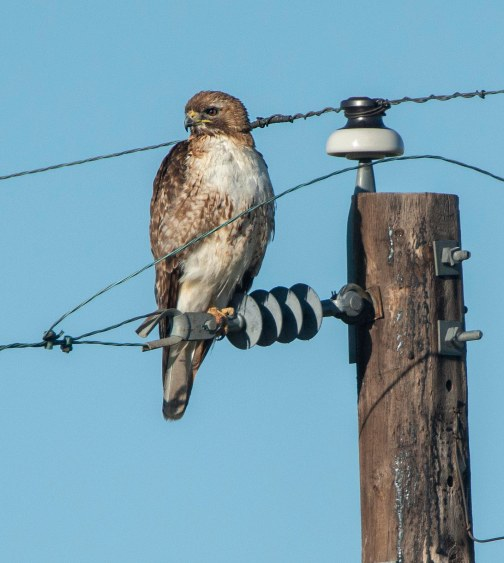 Red-tailed Hawk_SE EPC-CO_LAH_7111