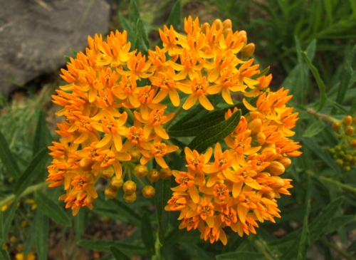 Aslepias tuberosa - Butterfly Weed @DBG 2008jun26 LAH 007