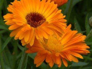 Calendula officinalis_Pot Marigold_DBG_LAH_0455