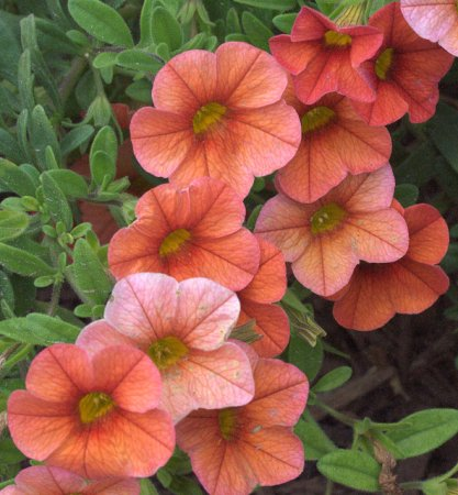 Calibrachoa 'Million Bells'