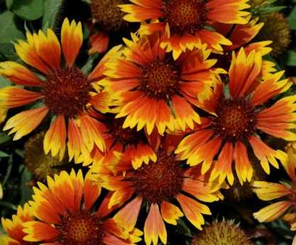 Gallardia - Blanketflower_XG_090720_LAH_7204