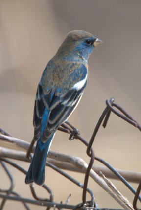 Lazuli Bunting_Patagonia-AZ_LAH_3706-001
