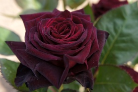 Black Baccara Rose - T.Kiya from Japan [CC BY-SA 2.0 (https://creativecommons.org/licenses/by-sa/2.0)], via Wikimedia Commons