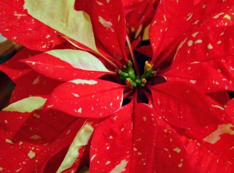 12 Poinsettias_PLH_5611