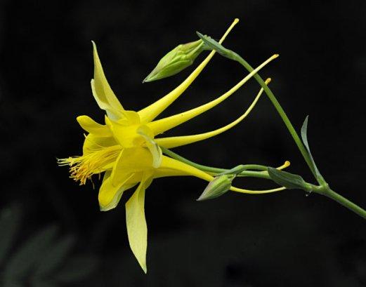 Aquilegia chrysantha_Yellow Columbine_DBG_LAH_1018 x11-14 fil