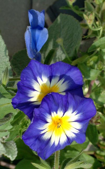 Convolvulus tricolor - Royal Ensign Dwarf Morning Glory @DBG LAH 346