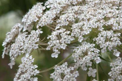 Daucus carrota_Queen Anne's Lace_HudsonGardens-CO_LAH_5786.nef