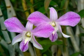Dendrobium 'Caesar's Candy'_Orchid_DBG-CO_LAH_4361