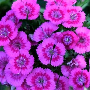 Dianthus_HAS Garden - COS - CO_LAH_0725