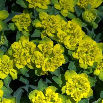 Cushion Spurge, Euphorbia polychroma