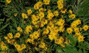 Helianthus maximiliani - Maximillian Sunflower @DBG 19sept05 LAH 014