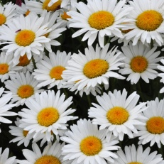 Leucanthemum x superbum_Shasta Daisies _XG_LAH_7068