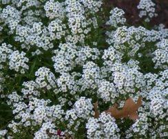 Lobularia maritima_Sweet Alyssum_DBG_LAH_3267