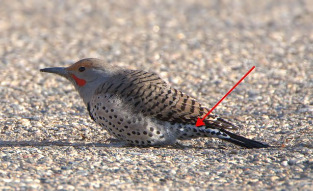 Northern Flicker_Cherry Creek SP-CO_LAH_2339rf