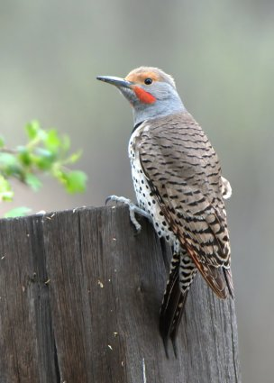 Northern Flicker_FCNC_LAH_1810f