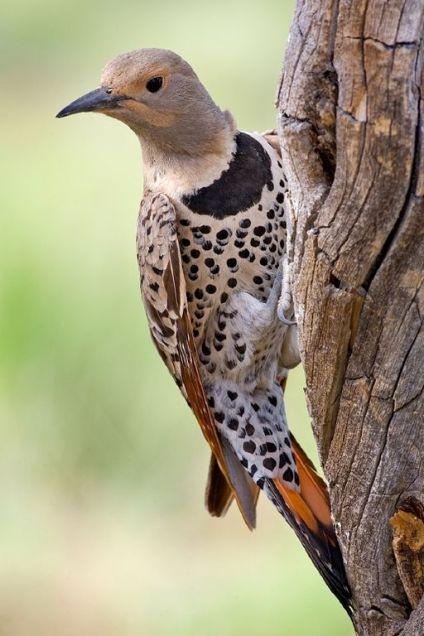 Northern_Flicker www.naturespicsonline.com