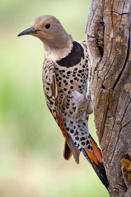 Northern_Flicker www.naturespicsonline.com