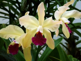 Orchid @DC LAH 212r