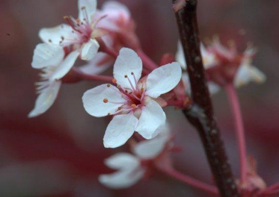 Prunus x cistena_Purple Leaf Plum_HudsonGardens-CO_LAH_2517