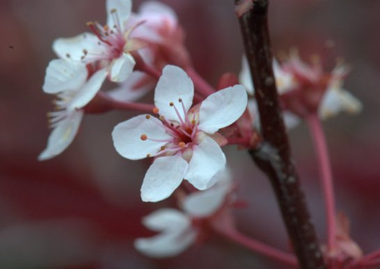Prunus x cistena_Purple Leaf Plum_HudsonGardens-CO_LAH_2517