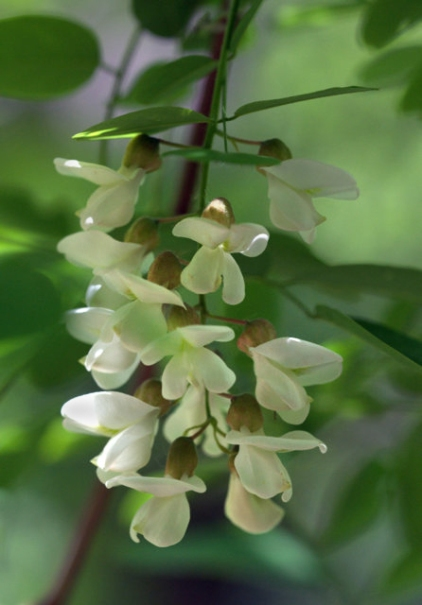 Robinia pseudoacacia_Black Locust_BCNC_LAH_1992