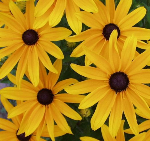 Rudbeckia 'Goldsturm' bloom