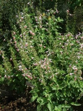 Salvia coccinea 'Coral Nymph' - Ornamental Sage @DBG LAH 003