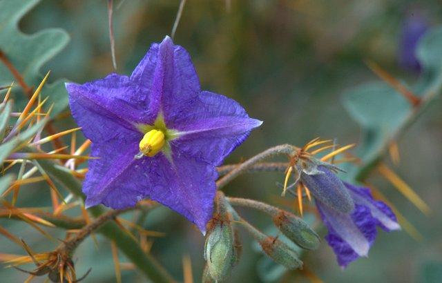 Solanum pyracanthum - Devil's Thorn_DBG_LAH_4364.nef