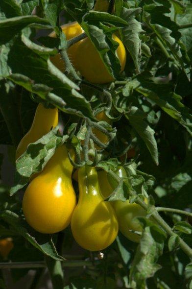 Tomatoes_Yellow Pear_Joan Nusbaum's-ColoSpgs_LAH_4600