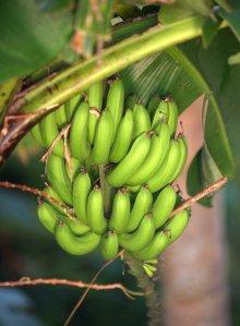 bananas_ceiba-pr_20100529_lah_8020
