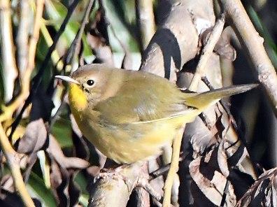 Common Yellowthroat_HamdenSloughNWR&area-MN_LAH_6392f