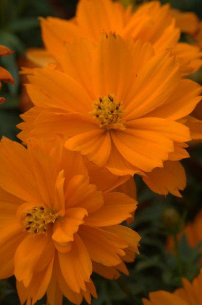 Cosmos sulphureus 'Cosmic Orange'_DBG_LAH_6993