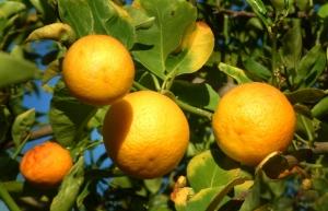 lemons @phoenix lah 3