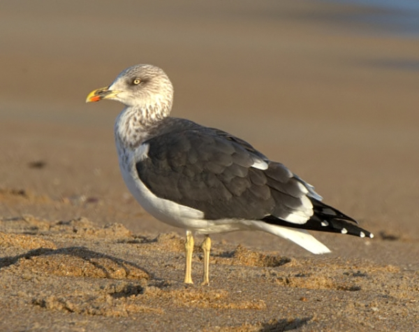 lesser black-backed gull_killdevilhills-nc_lah_lah_2733f