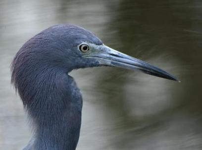 little blue heron_sharkvalley-evergladesnp-fl_lah_5899
