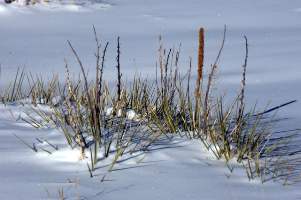 plants in snow_castlewoodcynsp-co_lah_7289