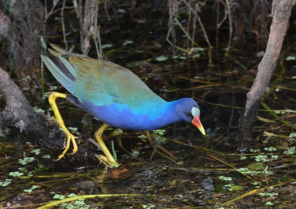purple gallinule_sharkvalley-evergladesnp-fl_lah_5812