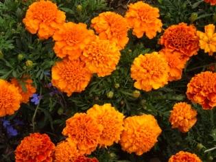Tagetes - Marigolds @SantaFeGreenhouses 2008jun28 LAH 107