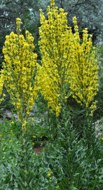 verbascum undulatum - wavy-leaf mullein_xg_090720_lah_7227