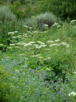 Anthriscus sylvestris_Cow Parsnip & Tall Chiming Bells @Mt.Princeton 14july05 LAH032