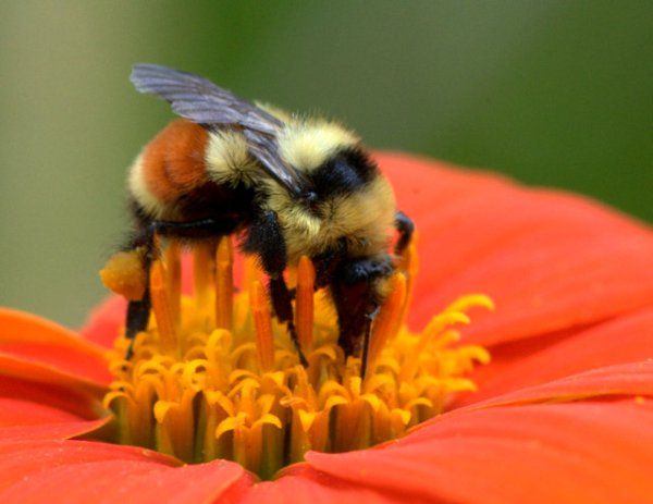 Bee on Tithonia_DBG_LAH_7606