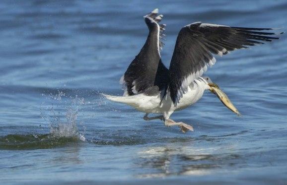 Greater Black-backed Gull_NewSmyrnaBeach-FL_LAH_2356r