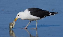 Greater Black-backed Gull_NewSmyrnaBeach-FL_LAH_2447