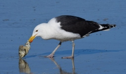 Greater Black-backed Gull_NewSmyrnaBeach-FL_LAH_2447