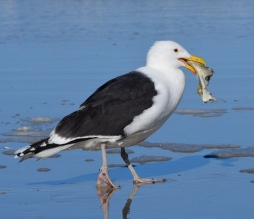 Greater Black-backed Gull_NewSmyrnaBeach-FL_LAH_2452