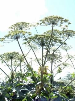 Heracleum sphondylium ssp montanum - Cow parsnip_DBG LAH 058
