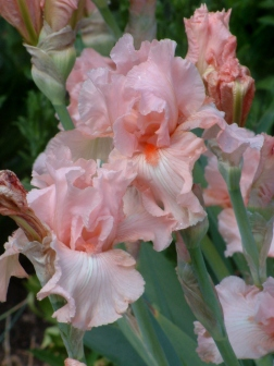 Iris germanica - Bearded Iris - peach @LIG LAH