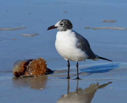 Laughing Gull_NewSmyrnaBeach-FL_LAH_2587