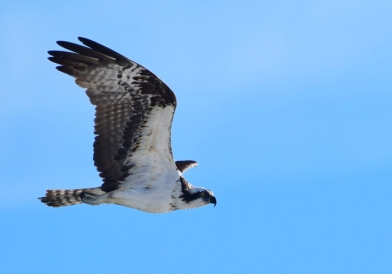 Osprey_NewSmyrnaBeach-FL_LAH_1645