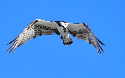 Osprey_NewSmyrnaBeach-FL_LAH_1716